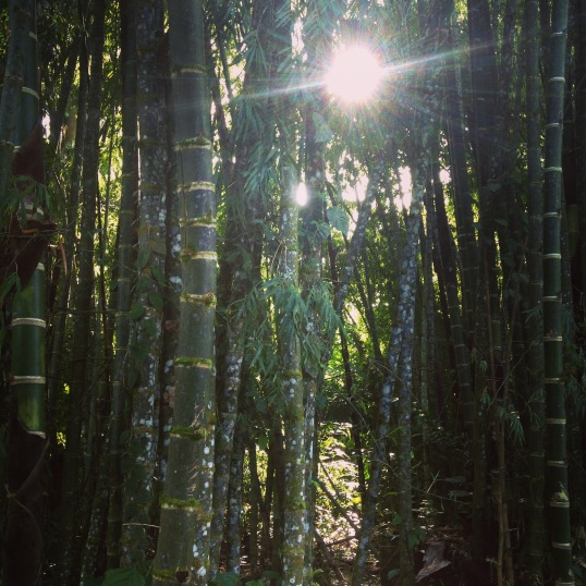 Backyard bamboo in Costa Rica